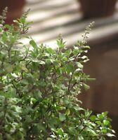 Ocimum tenuiflorum, Thai Holy Basil Krapao Tulasi, 250 seeds