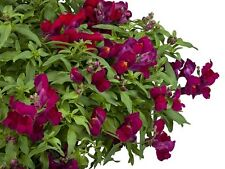 Snapdragon Seeds Candy Showers Deep Purple 15 Multi Pelleted Seeds Trailing