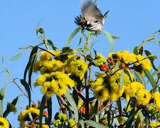 Gelber Eukalyptus • Eucalyptus erythrocorys • 15 Samen seeds • Red Cap Gum