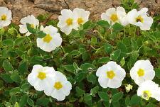 50 Samen Salbei-Zistrose Cistus salviifolius salbeiblättrige Zistrose Cistrose