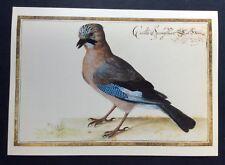 Painting of Jay by Johann Walter Bibliothèque National de France Postcard