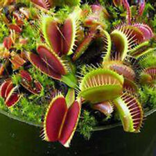 10 pc /Bag  Venus Fly Trap Dionaea Muscipula Carnivorous Flower  A