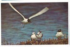 Bonaparte'S Gulls Seagull Alaska & Canada North America Water Bird Gull Postcard