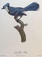 Le Geai Bleu d'après Barraband gravé Perée circa 1961 oiseau bird