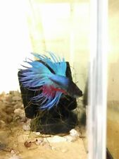blue crown tail betta male approx. 5cm