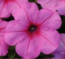 ~ Easy Wave Pink Passion * New * Trailing Petunia * 20 Pelleted Seeds
