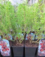 Lycium barbarum - Goji Beere - winterharte Pflanze 20-30cm essbare Früchte