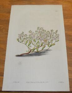 1821 Antique COLOR Floral Print///BARBARY SKY STONE-CROP, or, SEDUM CAERULEUM