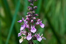 Germander Herb Seeds *