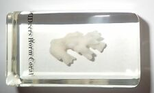 Deers Horn Coral embedded 73x40x24 mm Clear Block Education Sea Animal Specimen