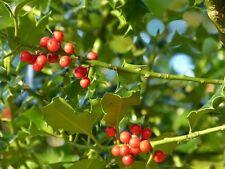 3 Common Holly Hedging Evergreen Plants, Ilex aquifolium 25-35cm in P9 Pots