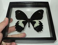 Real Insect: Papilio gambrisius In frame made of expensive wood double glass!!