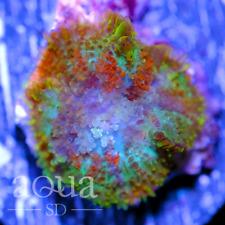 Asd - 041 Wickedness Shroom - Wysiwyg - Aqua Sd Live Coral Frag