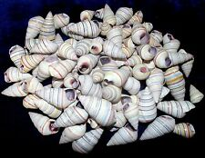 ONE HUNDRED (100) CANDY SNAIL HAITIAN TREE SNAIL SEA SHELL CRAFT  TROPICAL