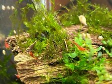 25+5 Cull / Wild Type Shrimp - Homebred Neocaridina Shrimp - Free Shipping!!!