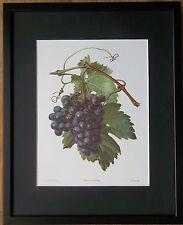 Vitis Vinifera - Carlos Von Riefel - 20''x16'' frame, grapes wall art