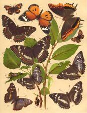 BUTTERFLIES. Duke Burgundy Fritillary; Nettle-tree; Purple, Orange Emperor 1903