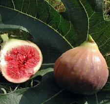 """Fig Dwarf Live Plant Trees Ficus Carica Edible Sweet 4"""" Pot Garden Outdoor New"""