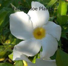 "MANDEVILLA VINE - WHITE -2 PLANTS - 3"" POT - TRUE VINING MANDEVILLA"