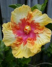 "EXOTIC VOLCANO  HIBISCUS WELL ROOTED LIVE STARTER PLANT 5"" TO 7"" TALL"