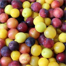 Plum cherry, Prunus cerasifera, mixed colors 5+ seeds