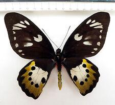 Ornithoptera arfakensis female , Irian Jaja, Indonesia    K1/7