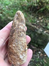 Genuine Spinosaur Tooth From Morocco
