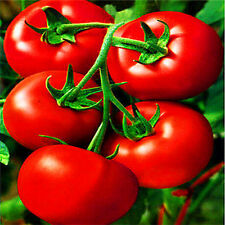 Fd2125 Red Tomato Seed Organic Healthy Lycopersicon esculentum 1 Pack 30 Seeds
