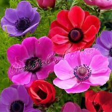 40 Anemone Mr Fokker Sylphide Spring Flower Autumn Growing Bulb Corm