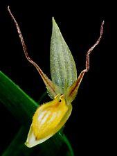 Pleurothallis Species ´RED DARK Alien´ XL Pflanze Orchidee Orchideen Masdevallia