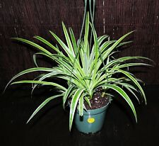 """Beautiful REVERSE Variegated Spider Plants  5.5"""" Hanging Baskets Shipped in pot"""