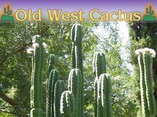 "Trichocereus Pachanoi San Pedro Cactus 99"" fresh logs & tips; 11-13 lbs."