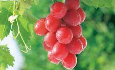 10Pcs Rare Orange Grape Fresh Seeds Sweet Perennial Fruits Spring Home Garden