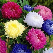 100 Chrysanthemum Flower Seeds 16 Colors Rare Beautiful Plant Decoration in Home