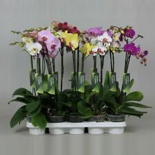 100PCs Rare Bonsai Mixed Orchid Perennials Beautiful Flowers Seeds Home Garden