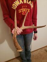 Wild Whitetail Deer Antler Shed Horn Rack Decor Craft 4 Point Dark Dog Chew