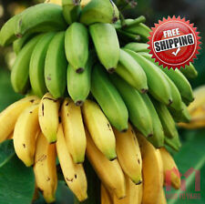 200 X Dwarf Cavendish Banana Seeds Exotic Fruit Tree Musa Ainata Latundan