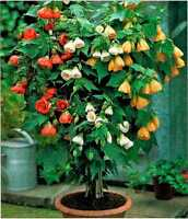 Seeds Abutilon Flower Indoor Perennial Garden Balcony Hanging Organic Ukraine