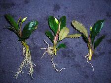 10 Bucephalandra Green Wavy
