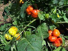 """orange AUBERGINE """"GILO"""" orange-rot, lecker, rund, zum Füllen, lila große Blüte"""