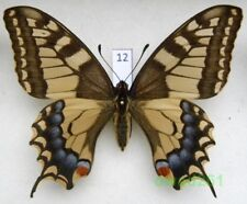 Papilio machaon Linnaeus, 1758 aberration ex. ovo Poland 76mm12