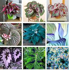 Mix Begonia,begonia seeds bonsai flower seeds potted begonia plants