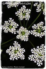 """Conium Maculatum """"VELENO Hemlock' [EX. Co. Durham] 100+ Semi"""
