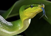 Awesome Green Viper Snake Poster Size A4 / A3 Wild Animals Poster Gift #8313