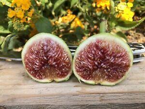 "Fig Tree cuttings ""White Adriatic"" FREE US SHIPPING"