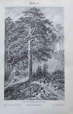 KIEFER I. II. 1895 original Druck antik Lithografie antique prints Nadelholz