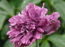 1x Papaver paeoniflorum PURPLE ( Perennial Poppy, plant ) Flower Peony poppies