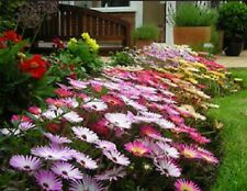 Ice Plant Magic Carpet Mixed Colors 100 Seeds Attracts Bees Free Ship!