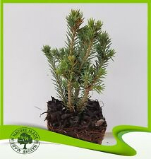 Picea glauca 'Echiniformis' (White Spruce) - Plant  …