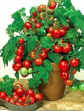 Tomato seeds Balcony miracle. indoor organic from Ukraine